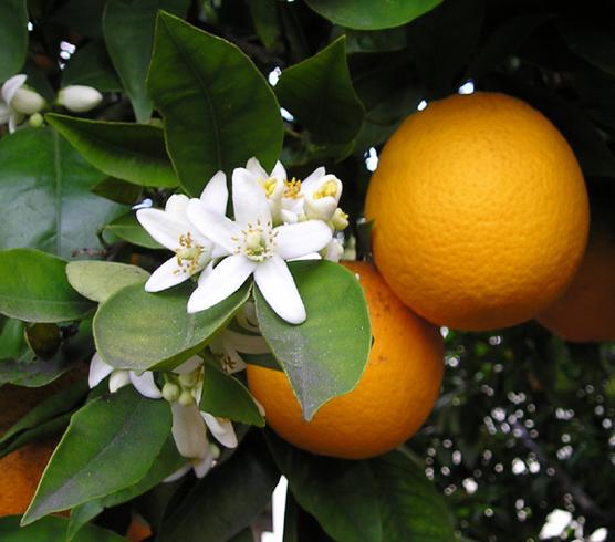 Fiori d'arancio.